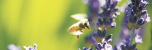 A honey bee gathers pollen from lavender grown at Anne Amie Vineyards. The establishment of non-winegrape plants to attract