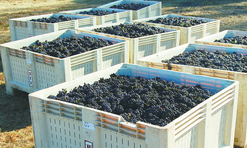 Totes of ripe Pinot Noir clusters await shipment from Doe Ridge. ##Photo by Hilary Berg