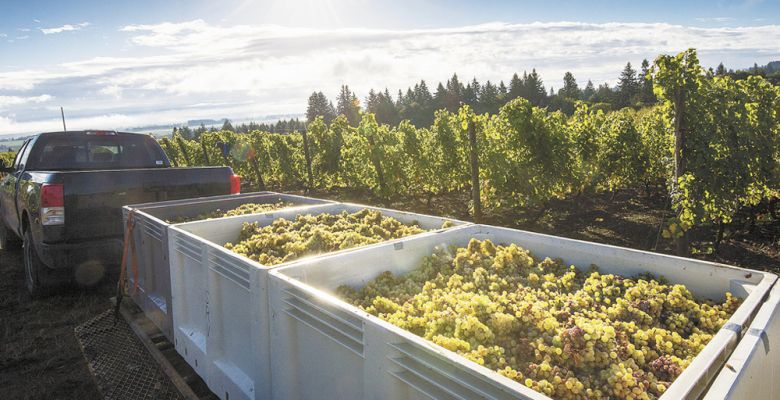 Brooks hauls fruit out of the vineyard and into the Amity winery's new facility during the record-breaking 2014 harvest. Wineries were inundated with top-notch fruit. ##Photo by Andrea Johnson