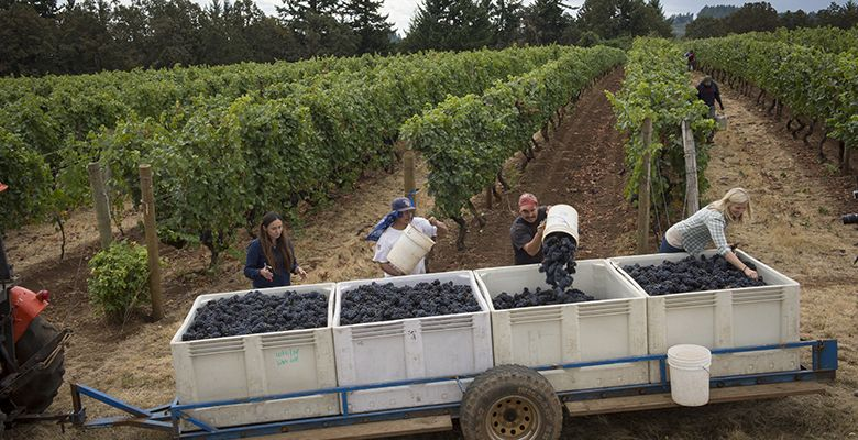 Workers continue to fill the bins at Elton Vineyards. Judging from the fruit here, the vintage is shaping up to be an excellent one.##Photo by Andrea Johnson