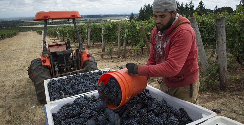On Sept. 4, a worker at Elton Vineyards in the Eola-Amity Hills empties a bucket of Pinot Noir into a picking bin. Harvest rarely starts before Labor Day, but vineyards and wineries predicted the early crush and were well prepared.##Photo by Andrea Johnson