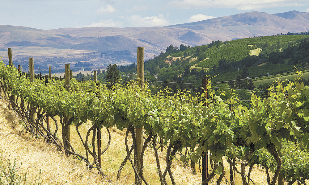Originally planted in the 1880s by an Italian immigrant who imported the vines from Italy, The Pines 1852 old-vine Zinfandel thrives in the Columbia Gorge near The Dalles.##Photo by Andrea Johnson