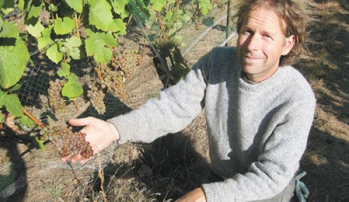 Vigneron/winemaker Steven Thompson shows off a cluster of Gewürztraminer hanging on vines planted in the 1960s and once celebrated as the Dragonfily Vineyard, now renamed the Atavus Vineyard.
