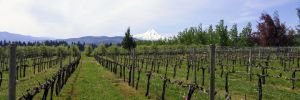 von Flotow Vineyard near Hood River. ##Photo by Michael Alberty