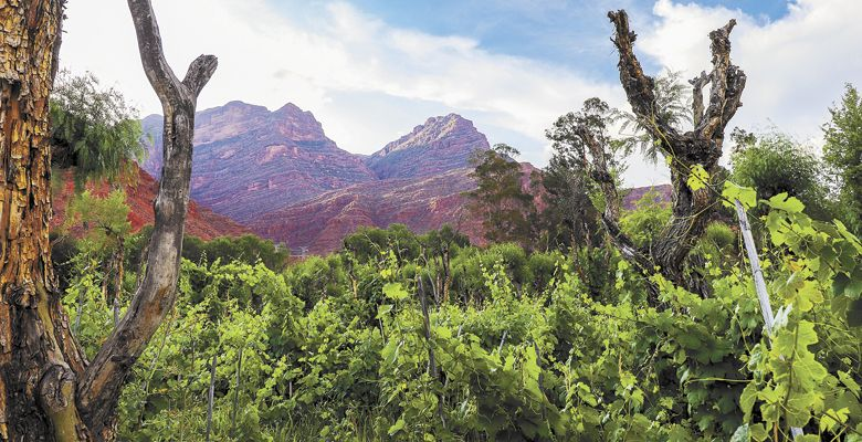 Vines climb high at Cepa De Oro Vineyard in Camargo, Bolivia. ##Photo provided