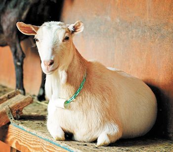 Pholia Farm raises Nigerian