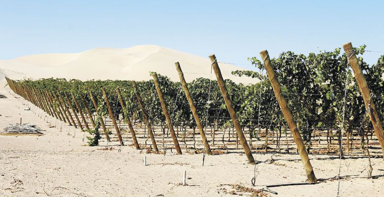 Many of the vineyards in Peru are surrounded by sand dunes. ##Photo by Amanda Barnes