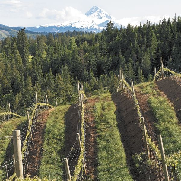 Phelps Creek is one of only a few vineyards in the Columbia Gorge AVA to grow and produce Pinot Noir. Photo by Andrea Johnson