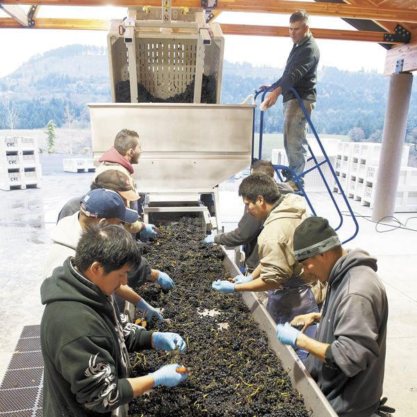 Harvest crews process Pinot Noir at Colene Clemens, located where the Chehalem Mountains and Ribbon Ridge AVAs merge.Photo by Andrea Johnson