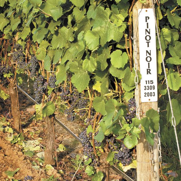 A sign marks Pinot Noir at Alexana Winery's vineyard located in the Yamhill-Carlton AVA.Photo by Andrea Johnson