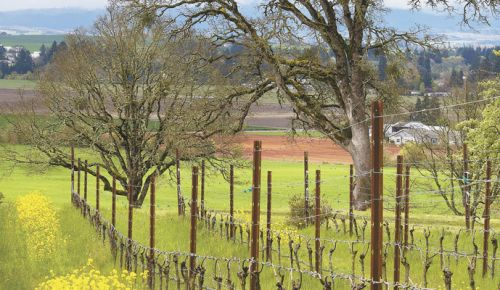 Keeler Estate in the Eola-Amity Hills AVA has signed the Willamette Valley Oak Accord, assuring the community the Oregon white oaks on the property are protected. ##Photo by Andrea Johnson