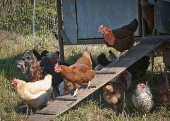 Chickens of many breeds leave the homemade coop at Big Table Farm.