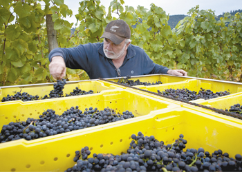 Nick Nicholas sorts through Pinot Noir clusters