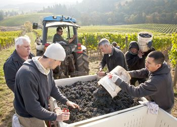 At Colene Clemens Vineyards, workers empty their buckets into the bins, while