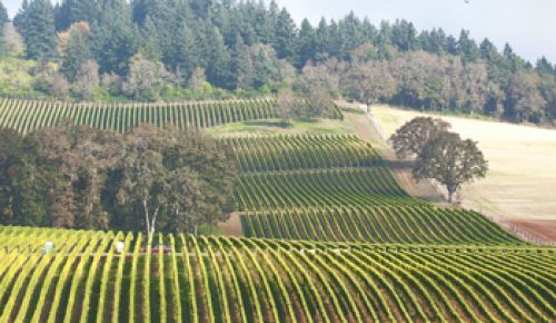 Harvest begins at Stoller Vineyards in the