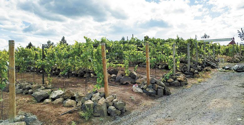 Half of Duane and Dina Barker's Ripplin' Waters Vineyard, located in North Bend, is planted to Marquette hybrid grapes, which were established in 2015. The highest elevation in the vineyard is 3,440 feet. ##Photo by Patty Mamula