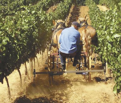 Stephen Hagen tills the vineyard rows using Belgian draft horses Ike and Olivia.