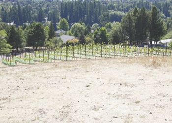 Just beyond the site of the new Lang Center, the SOWI/UCC vineyard