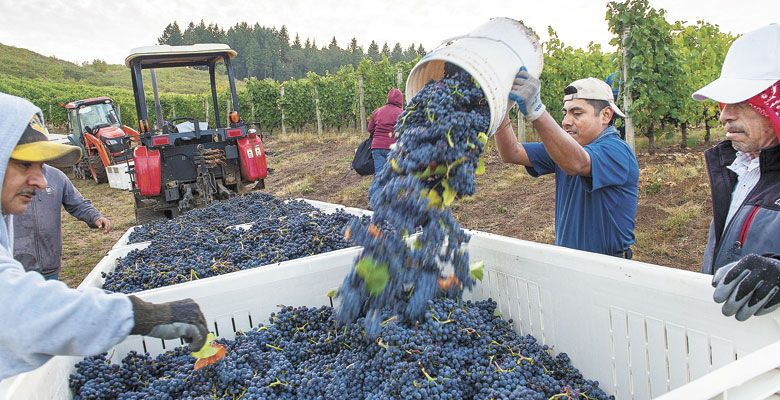 A vineyard worker dumps his bucket of picked Pinot at Alexana Vineyards in the Dundee Hills. He is the perfect candidate to receive ¡Salud! services. ##Photo by Andrea Johnson