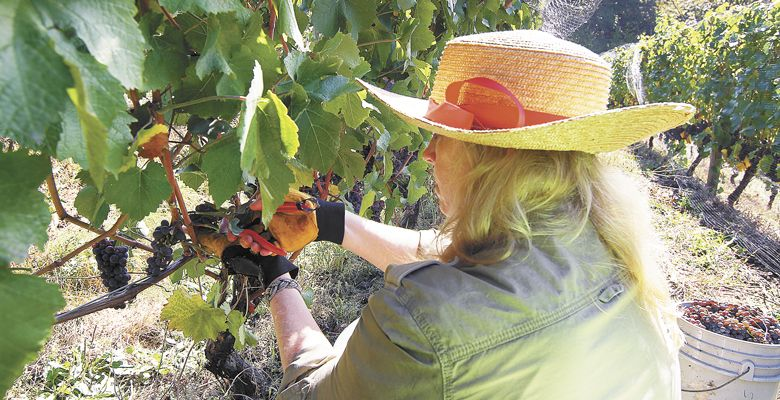 Larsen harvests Pinot Gris in Seven Sails Vineyard. ##Photo Provided