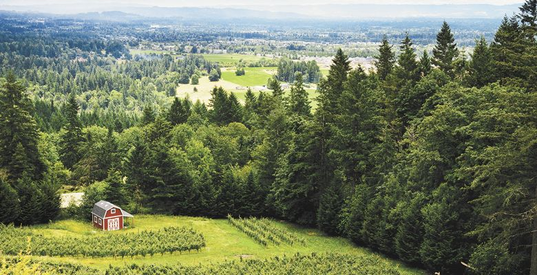 Seven Sails Vineyard is planted to about three acres of Pinot Gris in the West Hills of Portland. ##Photo by Kathryn Elsesser