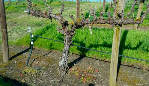 Graciano planted at Abacela's Fault Line Vineyards. ##Photo Provided