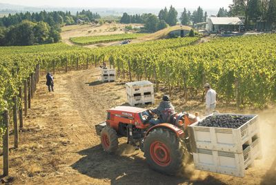 Crews harvest Pinot Noir at Sokol Blosser in Dayton.