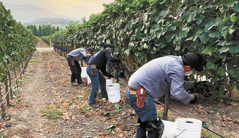With smoke in the air, harvest crews at 2Hawk Vineyard in the Rogue Valley pick grapes for the 2020 vintage. ##Photo provided