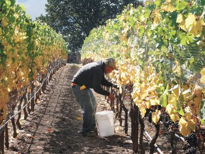 A harvest worker picks Pinot Noir in the North Willamette Valley.