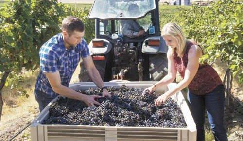 Willamette Valley Vineyards Winery Director Christine Collier helps sort fruit at Pambrun Vineyard in the SeVein Vineyard Development in the Walla Walla Valley with Jon Meuret, the consulting winemaker for the Walla Walla project. ##Photo by Andrea Johnson.