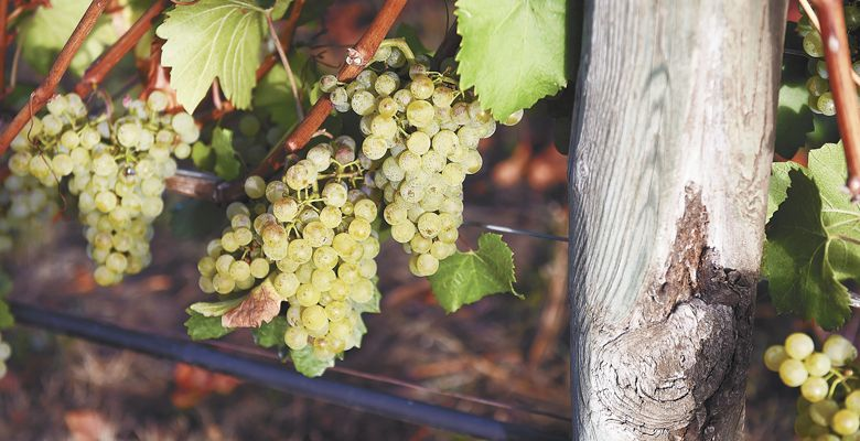 Chardonnay hangs, ready to be harvested in mid-September at Stoller Family Estate in Dayton. ##Photo by Rusty Rae
