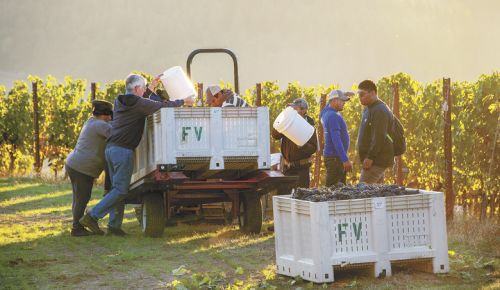 Mike McNally helps the picking crew at Fairsing Vineyard in the Yamhill-Carlton AVA during harvest last year. ##Photo by Andrea Johnson