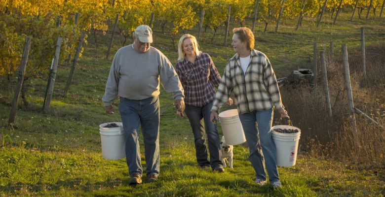 Keith and Trudy Kramer with their daughter, Kimberley, harvest grapes from the family's 22-acre vineyard. ##Photo by Andrea Johnson.