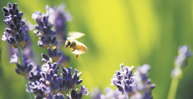 Bees thrive at Anne Amie Vineyards with help of flowering plants. ##Photo by Andrea Johnson