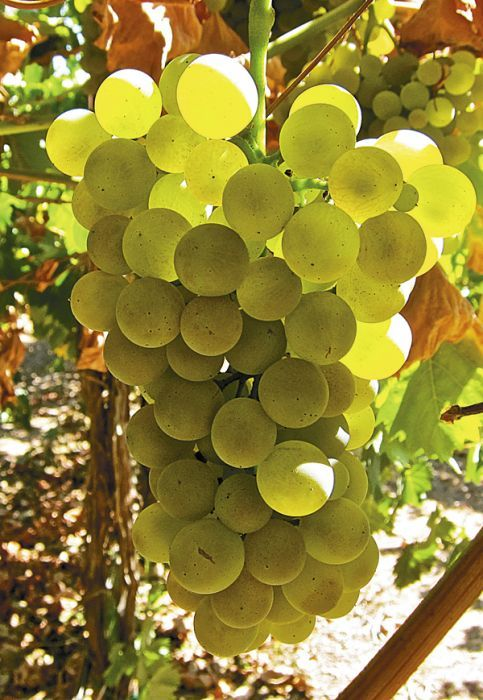 Vermentino ripens on the vine. The Italian-style white varietal holds great potential for Southern Oregon vineyards.