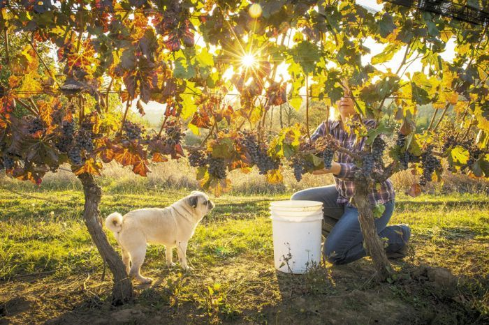 Kimberley Kramer of Kramer Vineyards harvests Carmine on Oct. 22, 2013. The almost acre of vines was planted in 1989 and is always the last to be picked at the Gaston vineyard. Brody, the vineyard Pug, assists. Photo by Andrea Johnson.