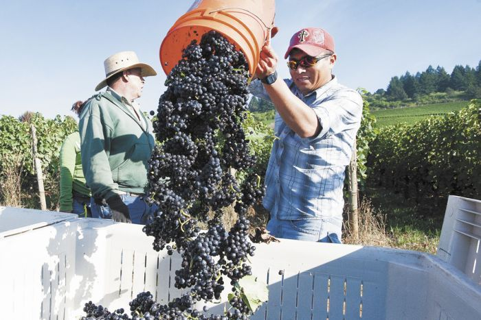 Harvest is starting earlier than usual at Stoller Family Estate and other Yamhill Valley vineyards.