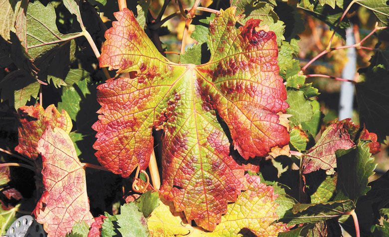 A leaf from a Merlot grapevine shows red veins and red blotches on margins and interveinal regions, typical symptoms of red blotch disease. ##Photo courtesy of Washington State University.