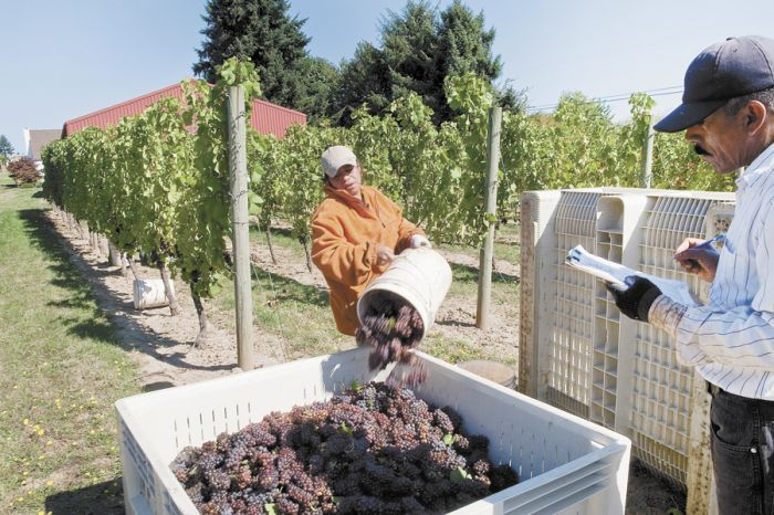 A seasonal migrant worker dumps a bucket of winegrapes into a picking bin at The Four Graces' estate vineyard in Dundee during the 2009 harvest. A real shortage of workers is likely this harvest for many different reasons. Photo by Andrea Johnson.