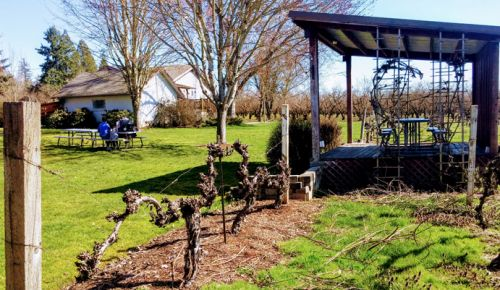 Niagara vines stand near the winery and house at Oak Knoll Winery in Hillsboro. ##Photo by Michael Alberty