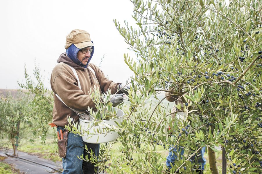 Workers harvest olives at Red Ridge Farms in early November. ##Photo by Del Munroe.