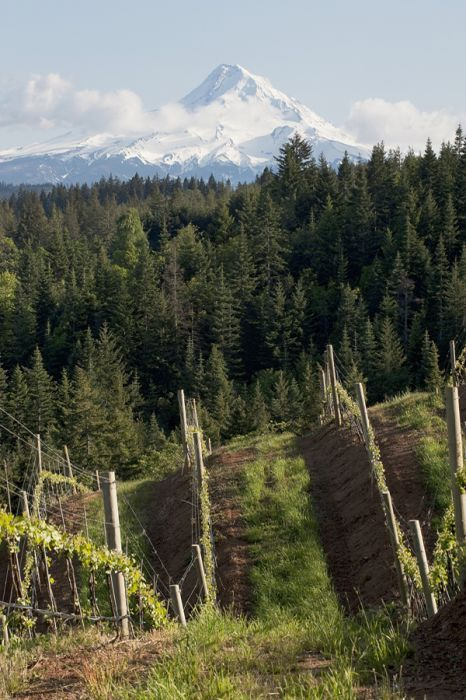 Phelps Creek Vineyard offers a stunning view of Mount Hood.