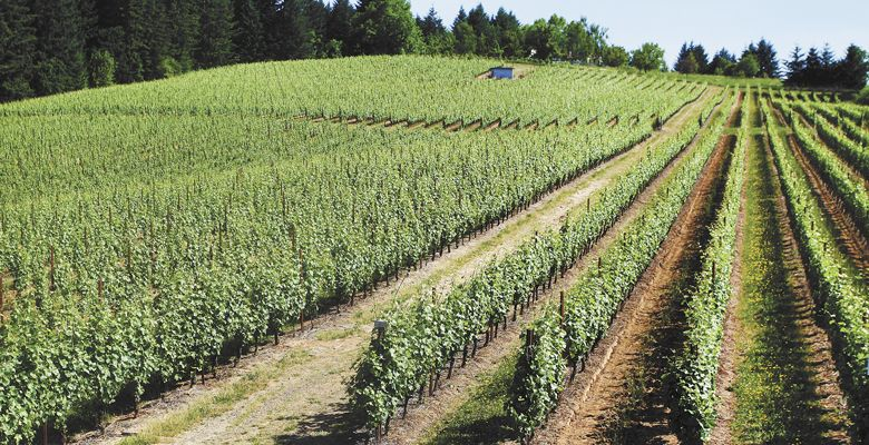 Lenné Estate's steep south-facing slope is at an ideal elevation yet has some of the poorest soil in Yamhill County; the result is concentrated Pinot Noir.  ##Photo by Rockne Roll