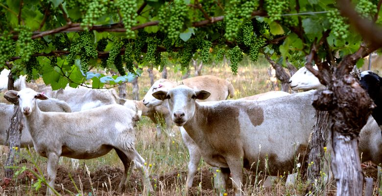 Sheep and other farm animals help maintain the vineyard at Antiquum Farm near Junction City. ##Photo Provided