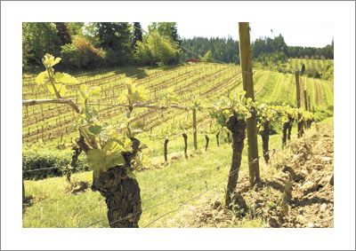 Chehalem s Coral Creek Vineyard near Newberg in the Chehalem Mountains AVA.
