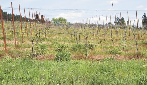 Seyval vines planted at Bells Up. Photo courtesy of Bells Up ##Photo courtesy of Bells Up Winery