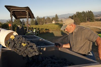 Soter checks the condition of just-picked Pinot Noir grapes during harvest. Photo by Andrea Johnson.