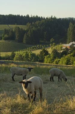 A flock of sheep call Mineral Spring Ranch home. Photo by Andrea Johnson.