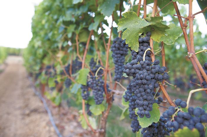 Syrah ripens at Adelsheim's Calkins Lane Vineyard near Newberg. The 40-acre estate vineyard adjoins the winery and tasting room at the foot of the Chehalem Mountains. Photo by Carolyn Wells-Kramer