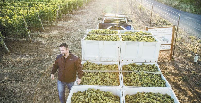 Chad Vargas manages picking during harvest at Adelsheim Vineyard outside Newberg. ##Photo By Charles Gullung